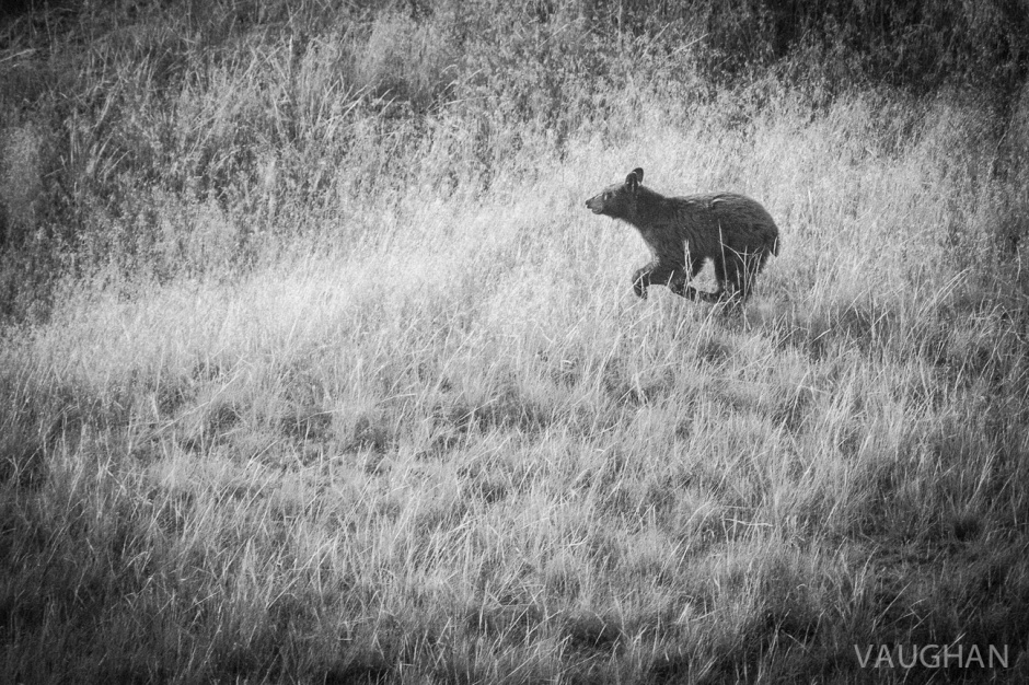 A young brown bear races me along the highway.