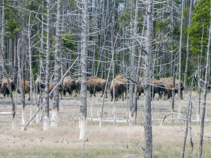 Yellowstone Buffalo.