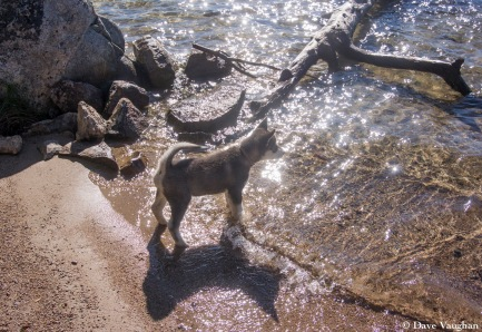 Shadow's first attempts to swim at Fremont Lake, Wyoming.